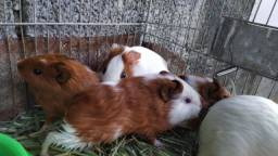 Porquinhos da Índia macho 50reais tenho reprodutora