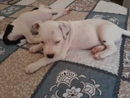 Vendo filhotes de Pitbull um macho liso e uma fêmea pintada
