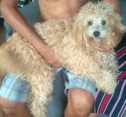Cachorro poodle 6 meses