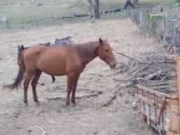 Título do anúncio: Vendo dois cavalos inteiro e chucro bom de raça