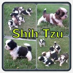 Lindos filhotes de Shih Tzu com pedigree