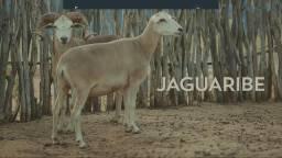Animais caprinos e ovinos a venda
