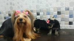 Micro fêmea de yorkshire terrier so 599 pra hje