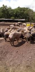 Landrac porcos vivos