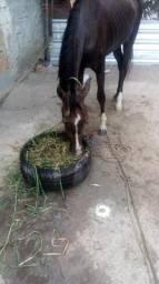 Vendo Cavalo pordo