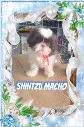 Shihtzu macho brincalhão disponível