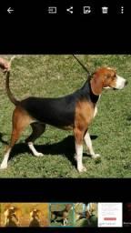 Cachorro Americano American Foxhound