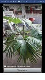 Sementes de palmeiras