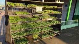 Mudas de hortaliças direto do viveiro