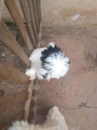 vendo Cachorrinha fêmea Lhasa com poodle