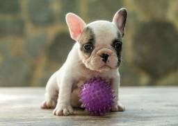 Bulldog Francês Fêmea Pedigree & Garantia de saúde