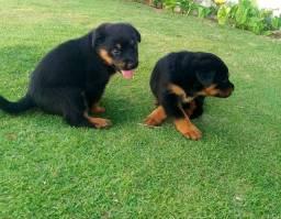 Filhotes de Rotwailler com pedigree 1300$