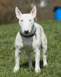 Vendo Filhote de Bull Terrier ingles