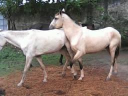 Cavalos de 1 ano e 3 meses