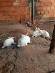 Vende se filhotes de coelhos