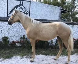 Cavalo amarilio de marcha picada do haras Feijó