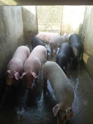 Landrac pietran duroc porcos