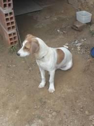 Vendo uma cachorra da raça Bingo com basset houd
