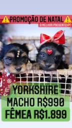 Promoção de Natal! +Belos Yorkshire fêmea R$1.899 Macho R$990 contrato garantia