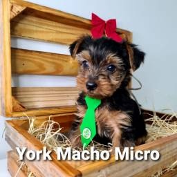 Machinho de Yorkshire micro