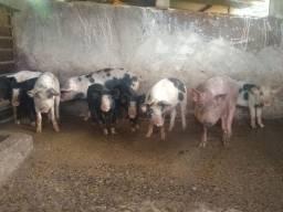 Venda de suínos vivos