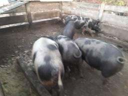 Porcos caipira para abate