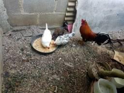 3 galinhas e 1 galo