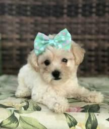 Promoção de poodle toy