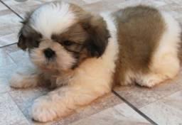 Cachorro filhote de Shitszu Machinho lindo!