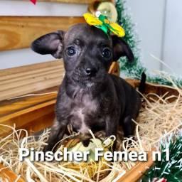 Linda fêmea de Pinscher n1