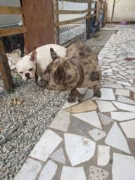 Bulldog francês merle reprodutor
