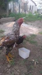 Título do anúncio: Galos, frangos e pintos de bico curto
