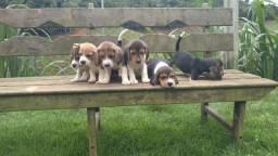 Salvador #Filhotes de Beagle Inglês (Reserva)