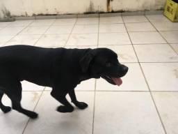 Labrador disponível para cruzar