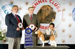 Filhotes de beagle- Canil MAPA GRANDE SERYGY
