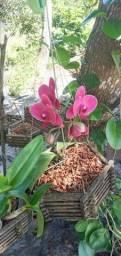Orquídea Rocha