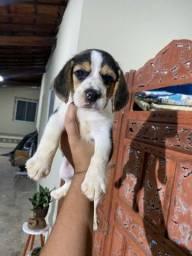 Beagle Femea com pedigree cbkc