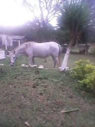 Égua com marcha troteada mais filhote
