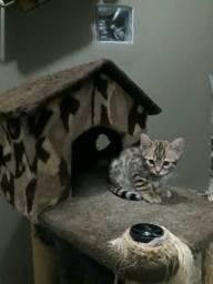 Gato bengal filhote