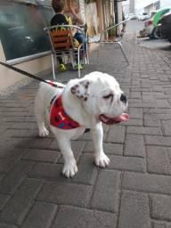 Bulldog Inglês