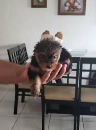 Cadelinha Yorksheire Terrier