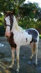 Cavalo paulista a venda