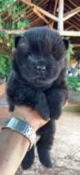 cachorro chow-chow filhote