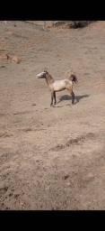 Título do anúncio: Cavalo árabe e mangalarga