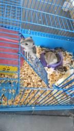 Filhotes Hamster Chinês