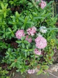 Mini Ixorias Mini Flores/Planta