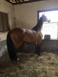 Cavalos Campolina