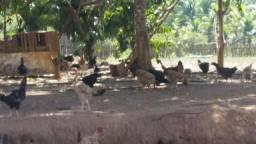 Vende-se galinhas e frangos