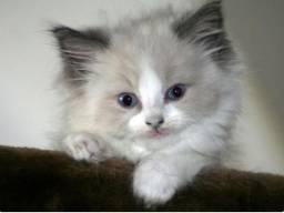 Gatinhos angora filhotes