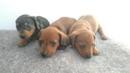 Cachorrinhos Salsichas